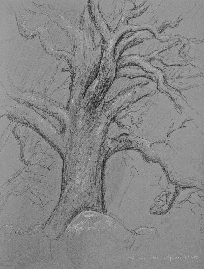 welsh oak sketch - 2012